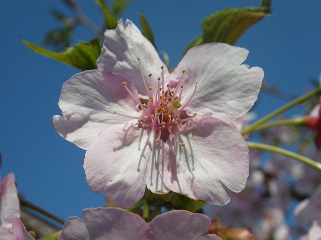 桜の花びら拡大写真