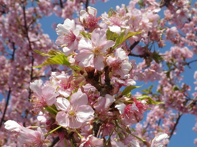 桜の拡大写真