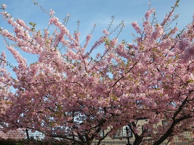 花びら満開の桜の木