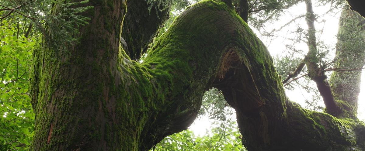 推定樹齢800年、筑波山 紫峰杉