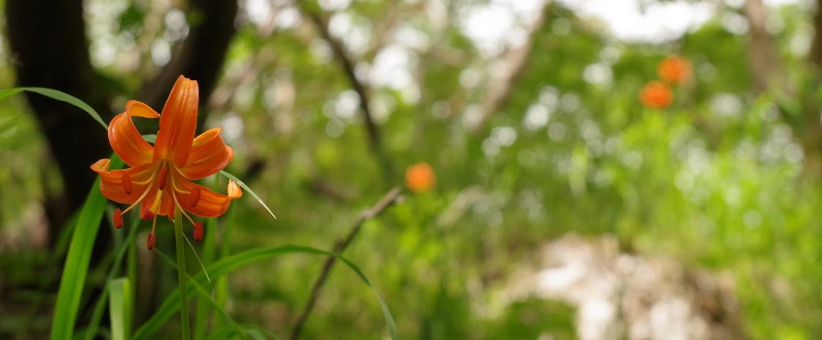 富士山で咲くクルマユリ