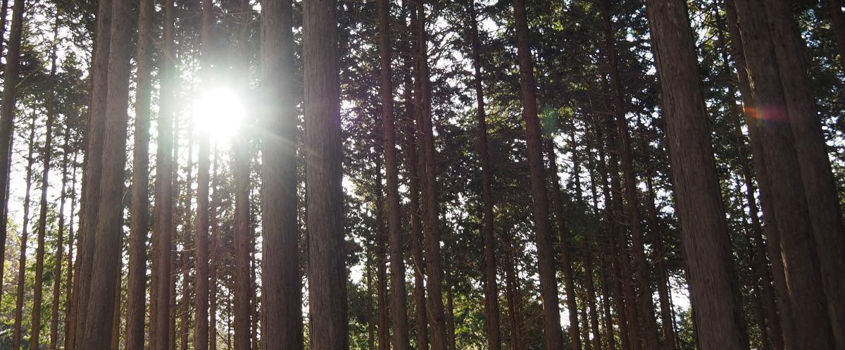 金時山 木漏れ日